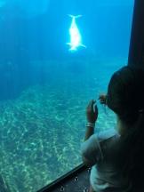 Beluga Whale in the Aquarium.